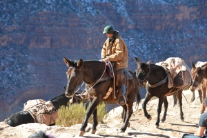 Mule train in the Grand Canyon