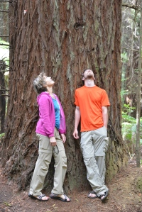 Looking up at a Redwood in Rotorua