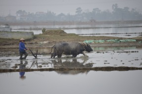 Farmer with water buffalo plowing the rice paddies